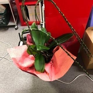 蘭の花が落ちた植木鉢と蘭