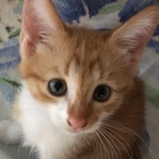 茶白の可愛い子猫💕可愛がって下さる方に‼︎