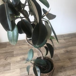黒ゴムの木