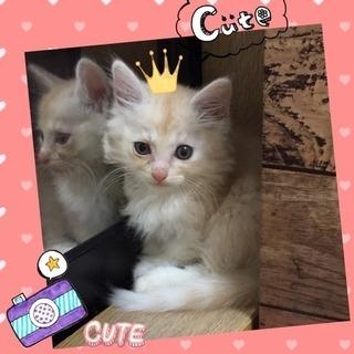 モコモコの可愛い子猫、里親さん募集中!(モコちゃん)
