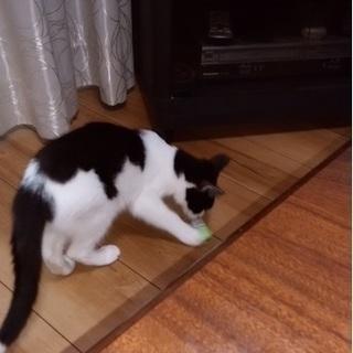 白黒の前髪美人の女の子 ベコちゃん - 猫