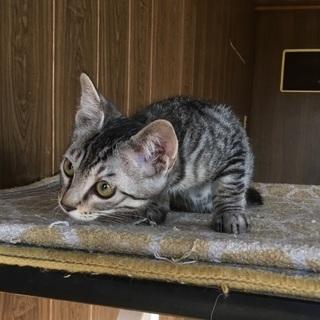 アメショ似のサバトラ仔猫の里親さん募集中です。
