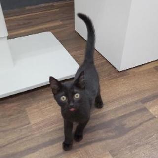 甘えん坊~黒猫キキちゃん♀の子 - 猫