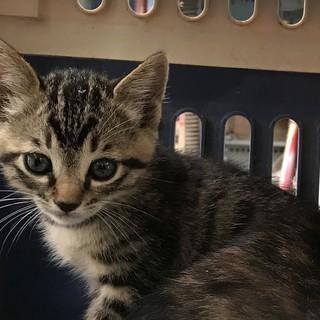 子猫、キジ1.5ヶ月ぐらい。