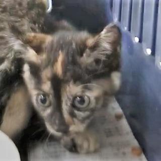 子猫、サビ1.5ヶ月ぐらい。