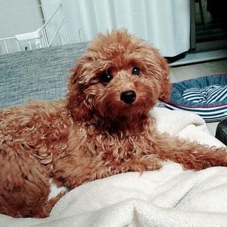 産まれて半年のトイプードルの仔犬です 女の子です