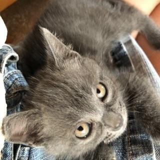 生後2ヶ月 洋猫みたいなグレー男の子 しょう君