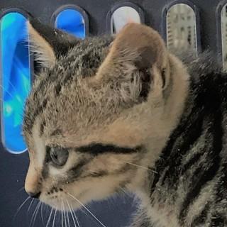 最後の子猫キジ猫最初の子にそっくりです。