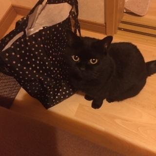 甘えたの美人黒猫【里親決定】