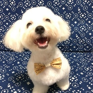 トイプードル・トイプードルmixのモデル犬募集🐶3,000円