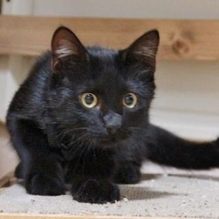 子猫推定3ヶ月 男の子 黒猫のタンゴ 保護中