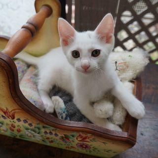 生後2ヵ月 かわいい白猫 オス 良いご縁をいただき、あたたかく迎...