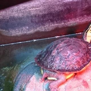 マレーハコガメ 甲長約10㎝ 約2歳