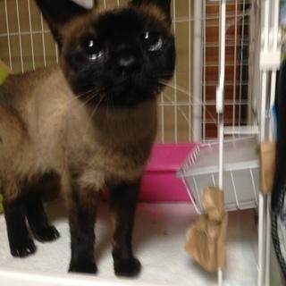 超可愛いシャム柄の猫ちゃんの里親募集 の画像
