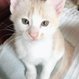 薄茶トラの可愛い子猫💕生涯可愛がって下さる里親さん募集中