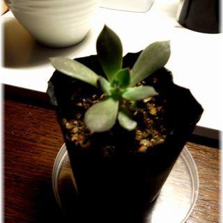 【黒い葉っぱが魅力の多肉植物】『ブラックプリンス』2号ポッ…