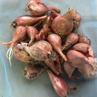 分葱の球根150g   無農薬で育ちました(^-^)