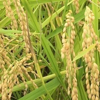 令和元年 新米 採れたて ひとめぼれ 湧き水栽培 玄米 30キロ
