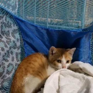 茶白の子猫を保護しました。(警察に届け出済み)トライアル中