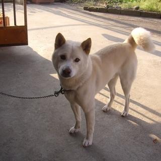 血統書付き白の柴犬で雄7歳。