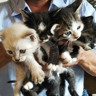 子猫生後1ヶ月4匹里親募集