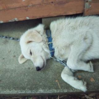 大型犬ピレネー犬とゴールデンのハーフできるだけ早く里親さんを探してます
