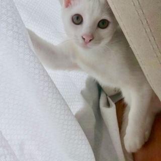 美人白猫ミルクさん♡お留守番出来ます!