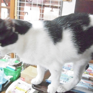 お腹にハート模様★愛らしさ溢れる女の子  チョビ♀ 3歳前後 - 猫