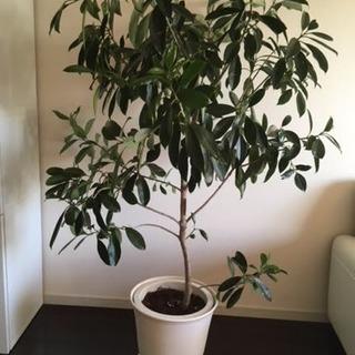 フィカス フォグライア観葉植物