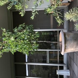 鉢植えナツメ 幼木 さしあげます
