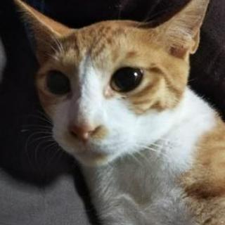 6ヵ月の茶トラ猫です