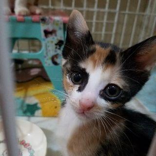 アイメイクの美猫甘えたな三毛猫子猫