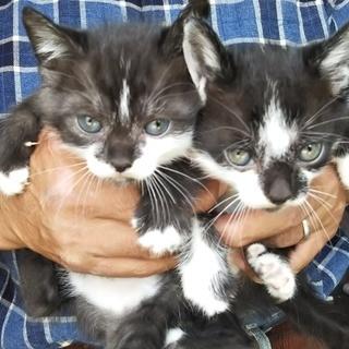 子猫生後1か月2匹里親募集
