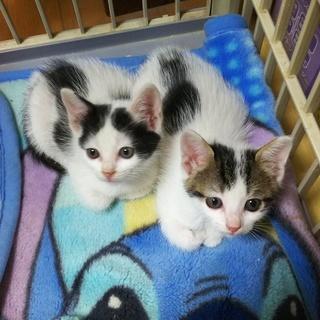 子猫の里親募集(2匹)メスとオス一匹づつです(生後4週間)2匹共...
