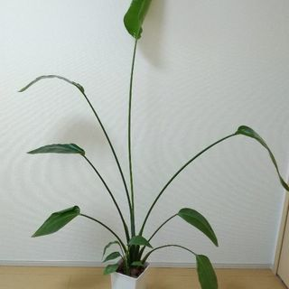 観葉植物 ストレリチア バショウ科