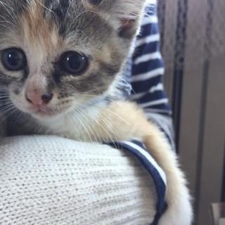 生後1ヶ月半ほどの子猫❁女の子(推定)①-8