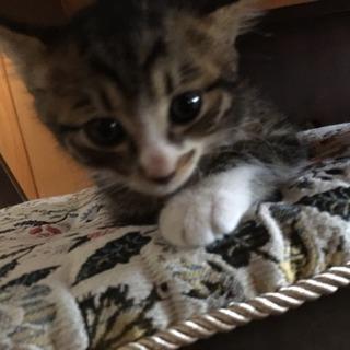 生後間もないキジトラ仔猫