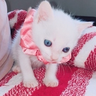 真っ白な青い目のハニィちゃん