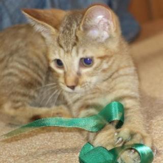 東北道で拾った子猫。届出済み。9/18保護しました。猫医者様曰く、...