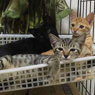 クロ1匹、チャトラ1匹、キジトラ3匹の5匹兄妹。2ヶ月くらいです。