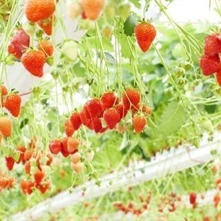 水耕栽培の農作業と出荷作業のスタッフ募集(^^)