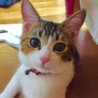 小顔の三毛猫 女の子 里親決定いたしました☆