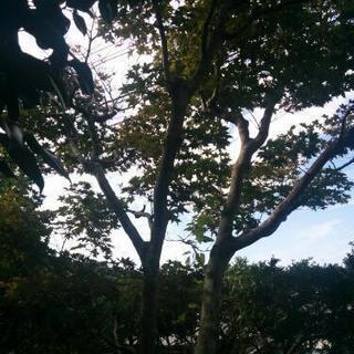カエデ 木