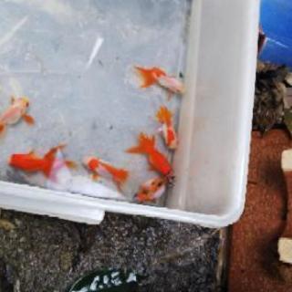 金魚新しい子どもがきました