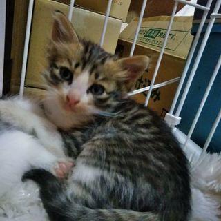 子ネコ、生後一ヶ月程【男の子】