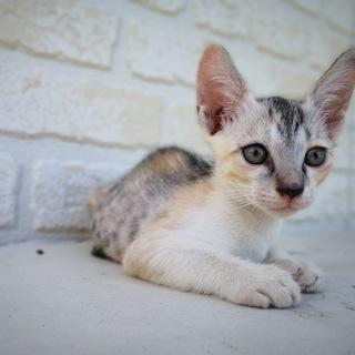 生後1ヶ月半捨て猫7匹保護  その4・薄い三毛