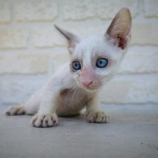生後1ヶ月半捨て猫7匹保護  その5・白2 ブルーアイ