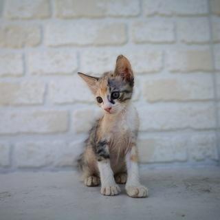 生後1ヶ月半捨て猫7匹保護  その6・三毛
