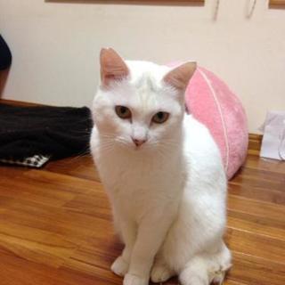 きれいな白猫ちゃん♀