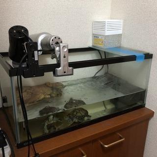 ミドリガメさんの里親募集しています。 − 千葉県